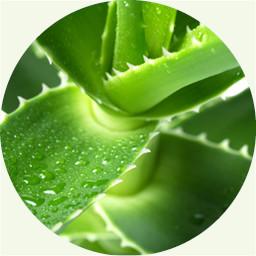 Aloe, 芦荟