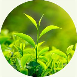 Camellia, grüner Tee 绿茶